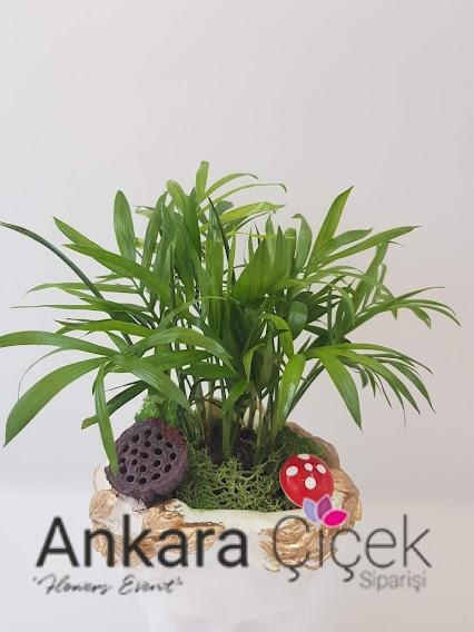 Ofis Çiçeği Palmiye