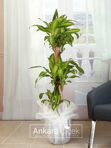 3 kök Massengena Saksı Çiçeği