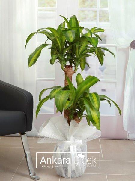 2 kök Massengena Saksı Çiçeği