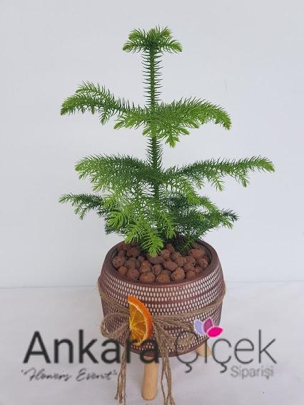 Arokarya Çam Ağacı