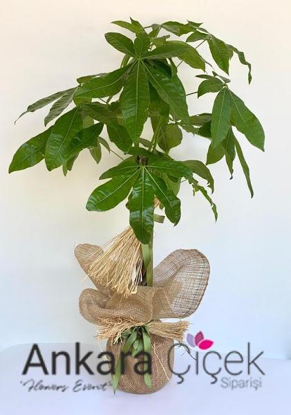 Egzotik  Pachira  Ağacı