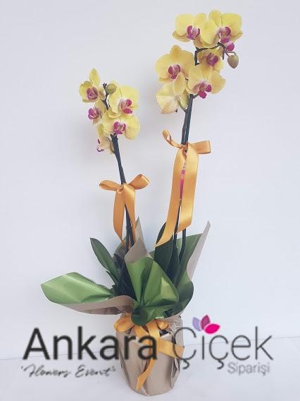 İkili Sarı Orkide