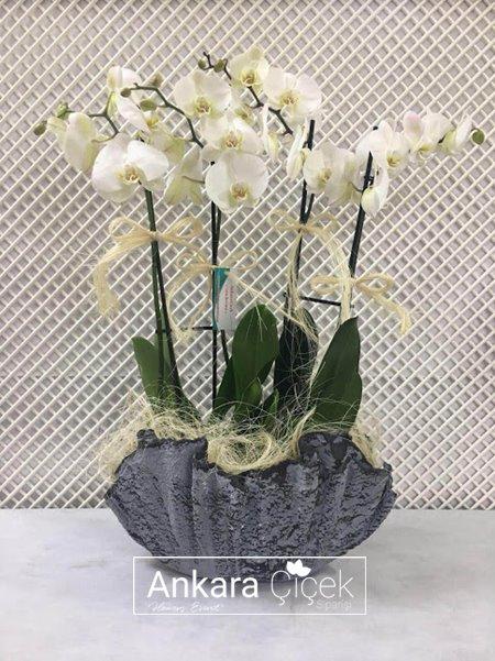 Antik  Saksıda Beyaz Orkideler