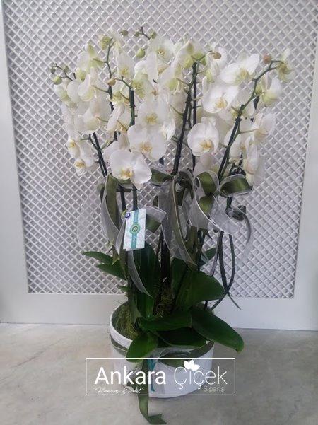 Beyaz Orkideler Zarif Duygular