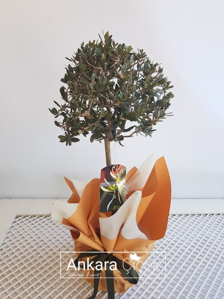 Ölümsüz Ağaç Zeytin Ağacı