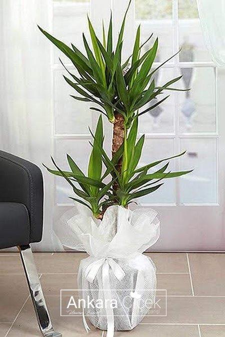 İkili Yuka Saksı Çiçeği