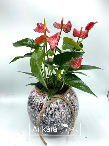Vazoda Antoryum Çiçeği