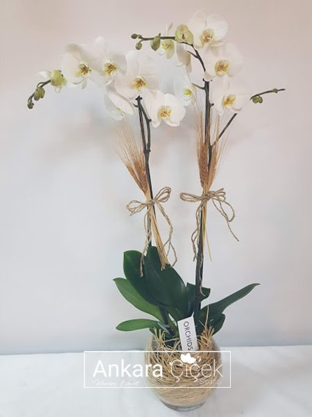 Ankara Çankaya Orkide Siparişi