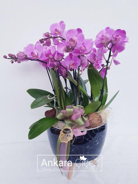 Orkide Rüyası