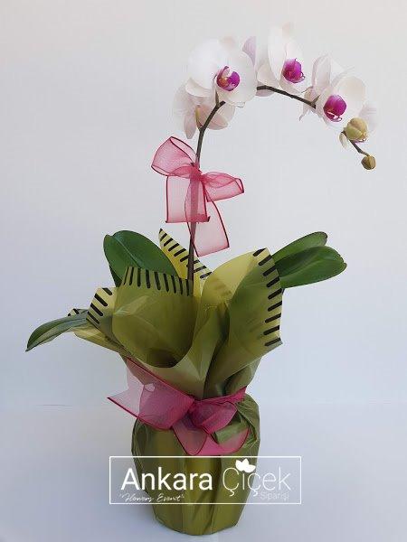 Tek Dal Fuşya Beyaz Orkide