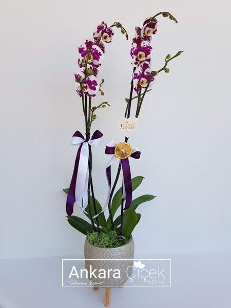 Dalmaçyalı Benekli Orkide