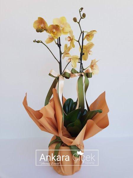 Sarı Taba Renkli Orkide