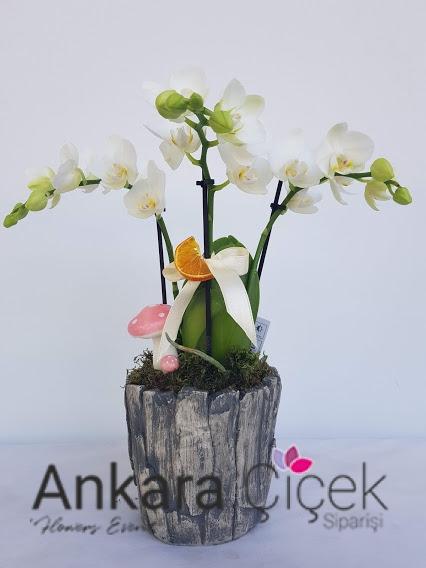Midi Beyaz Orkide Çiçeği