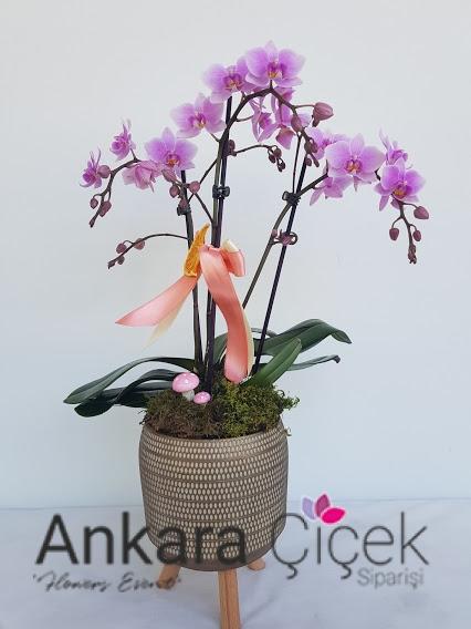 Midi Pembe Özel Orkide