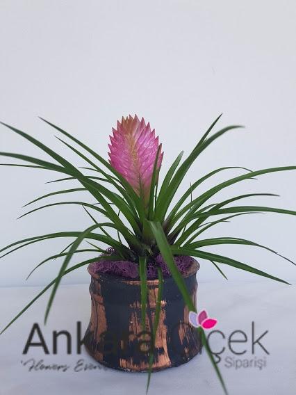 Tillandsia Hava Çiçeği
