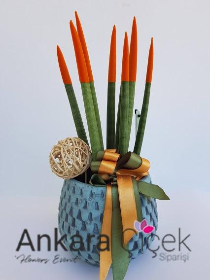 Turuncu Sanseveria