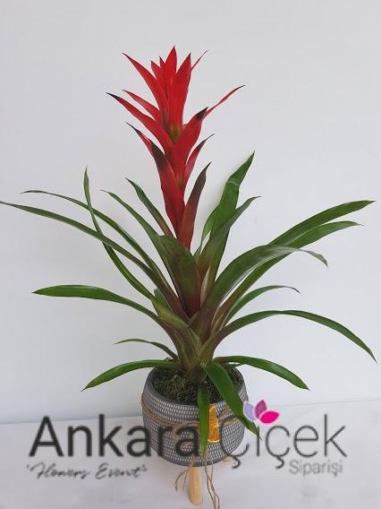 Vazoda Guzmanya Çiçeği